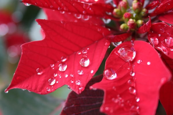 flor de navidad tradiciones catalanas