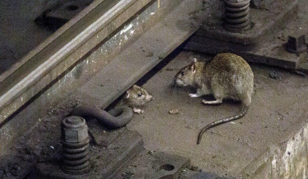 Barcelona prepara un censo para saber cuántas ratas viven en la ciudad