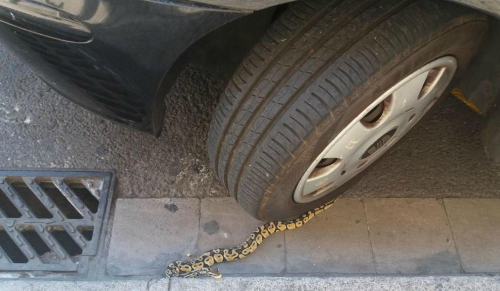 pitón bajo un coche en Barcelona
