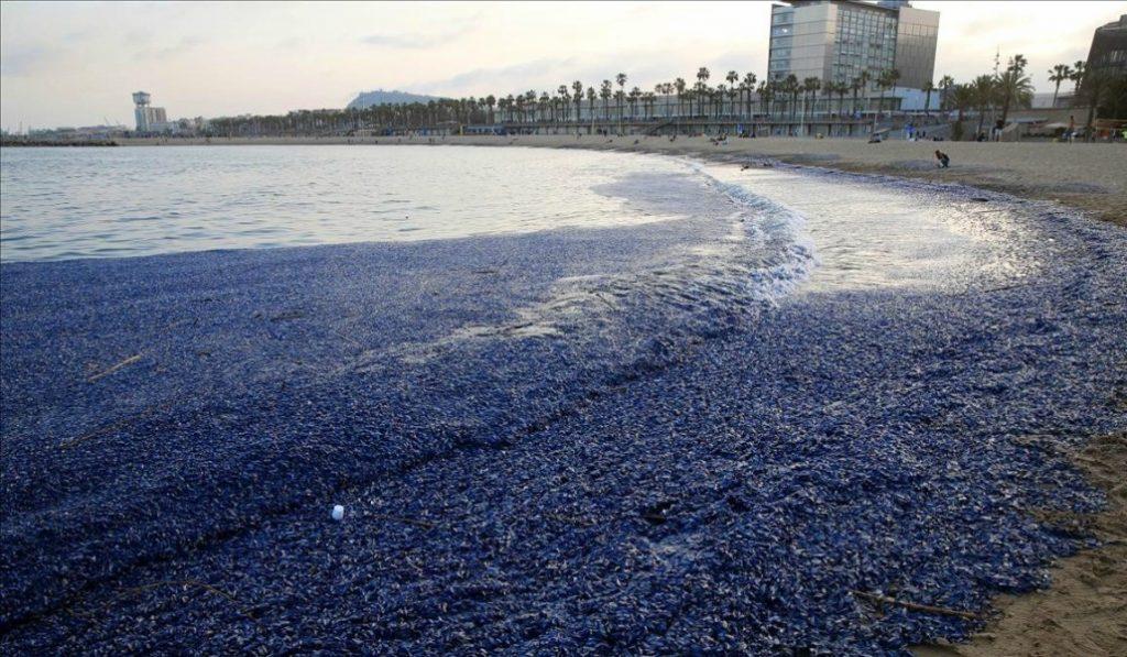 Las playas de Barcelona están increíblemente llenas de medusas