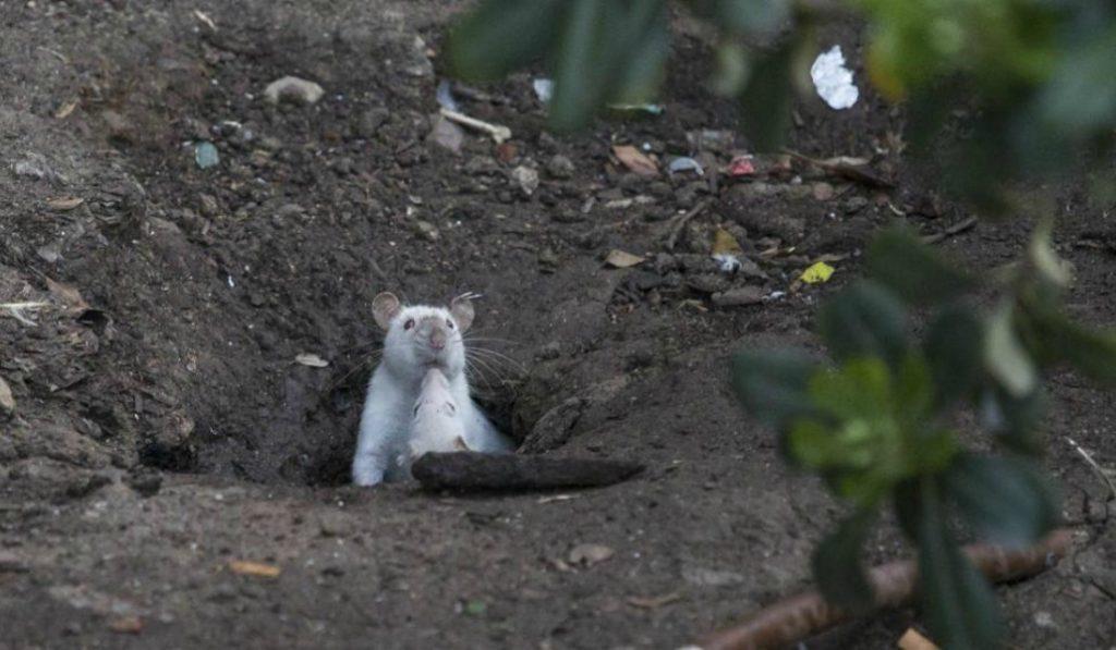 Nuevos habitantes: las ratas de laboratorio invaden el centro
