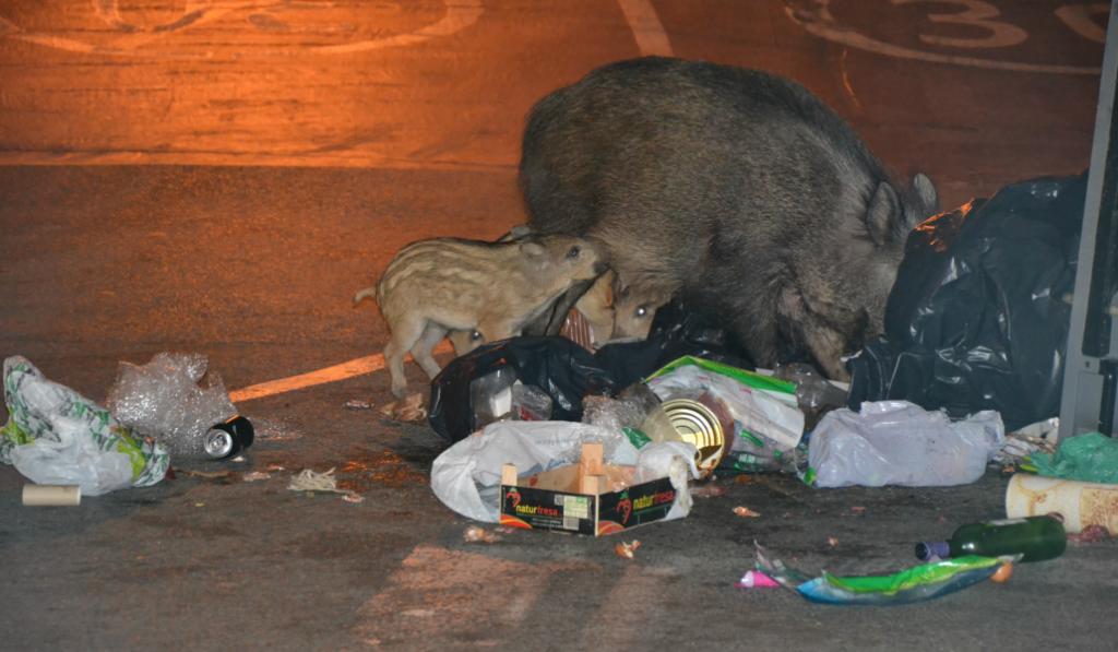 Los jabalíes están invadiendo Barcelona para comer comida de gatos