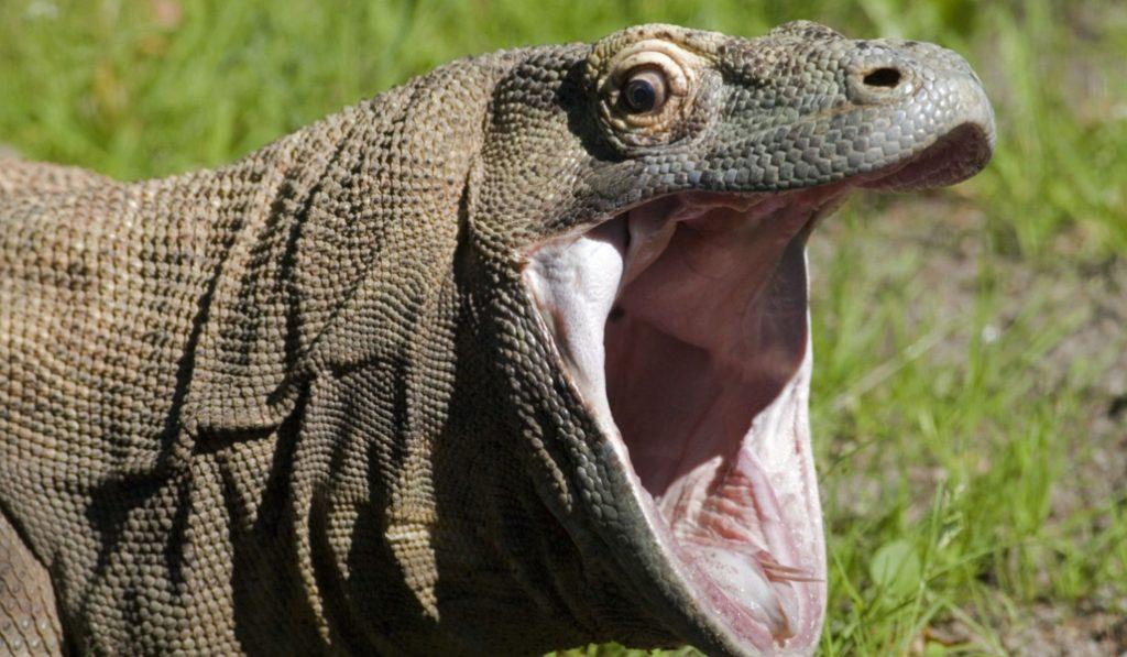 El insólito caso del dragón de Komodo que vivía ilegalmente en Cornellà