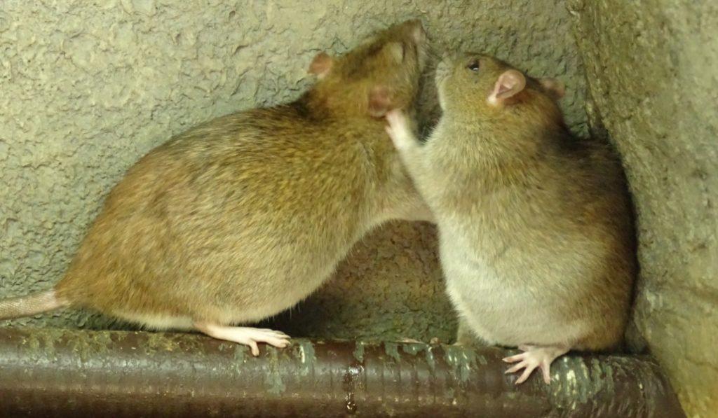 Alerta en Barcelona por el aumento del número de ratas