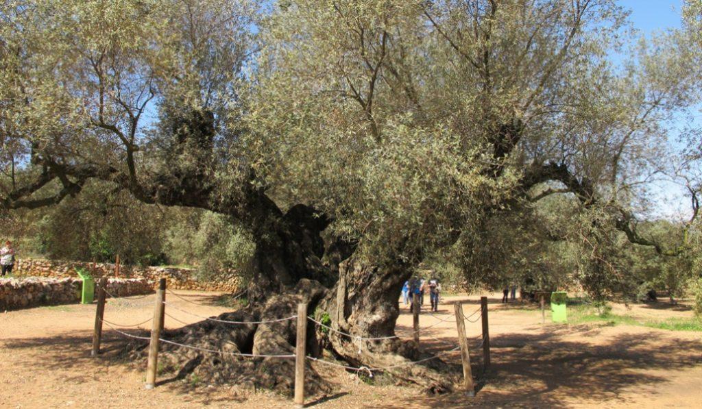 El árbol más viejo de España está en Cataluña