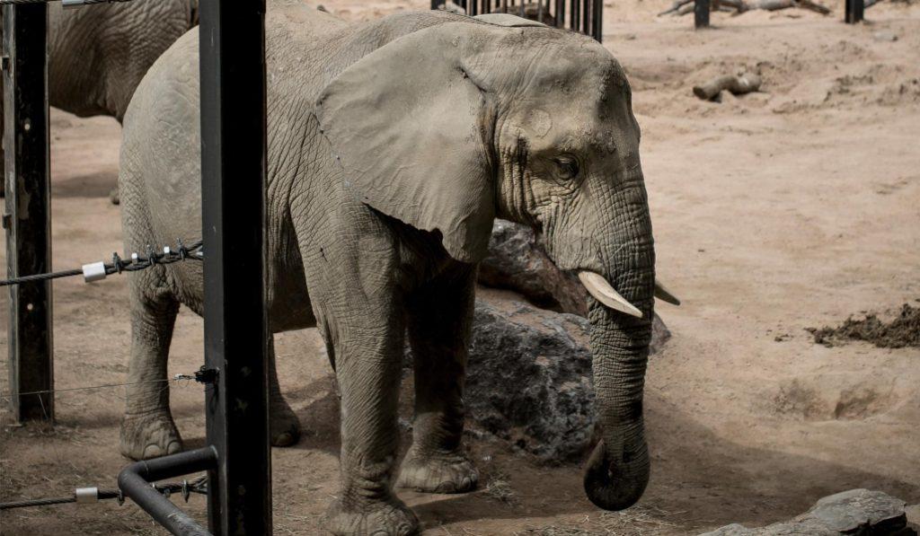 En el zoo de Barcelona hay una elefanta que se está muriendo de pena