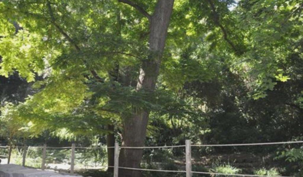 El árbol más alto de Barcelona está en un rincón romántico y poco transitado