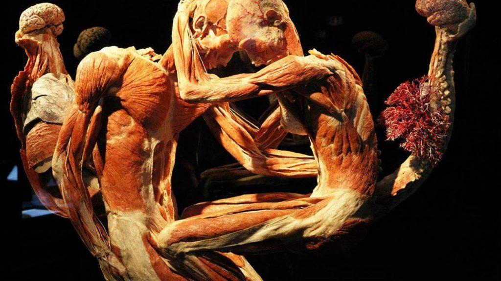 Human Bodies: un viaje espectacular por el cuerpo humano llega a Barcelona