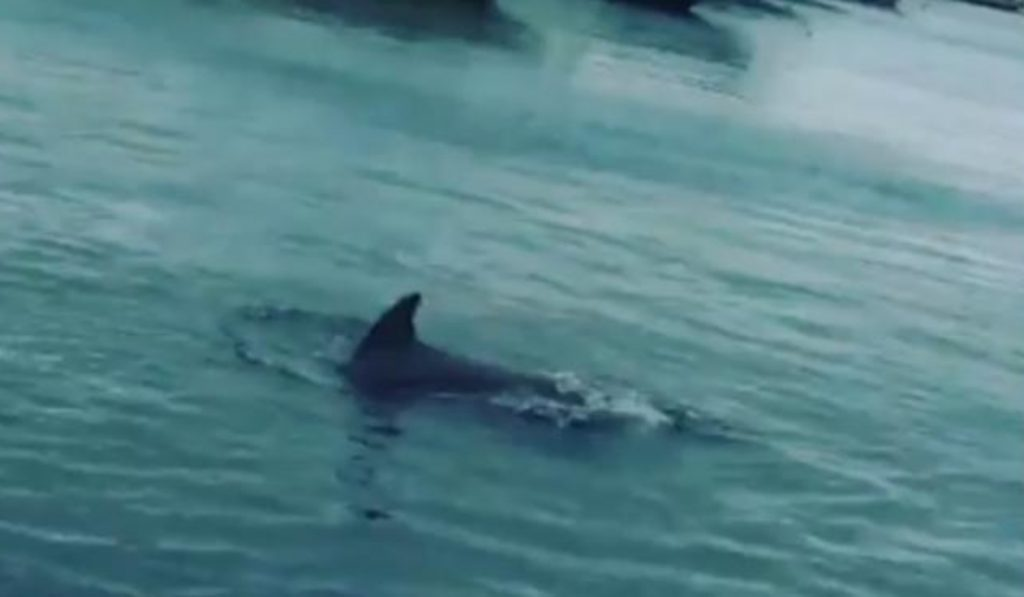 Los delfines siguen aprovechando el confinamiento para llegar hasta los puertos