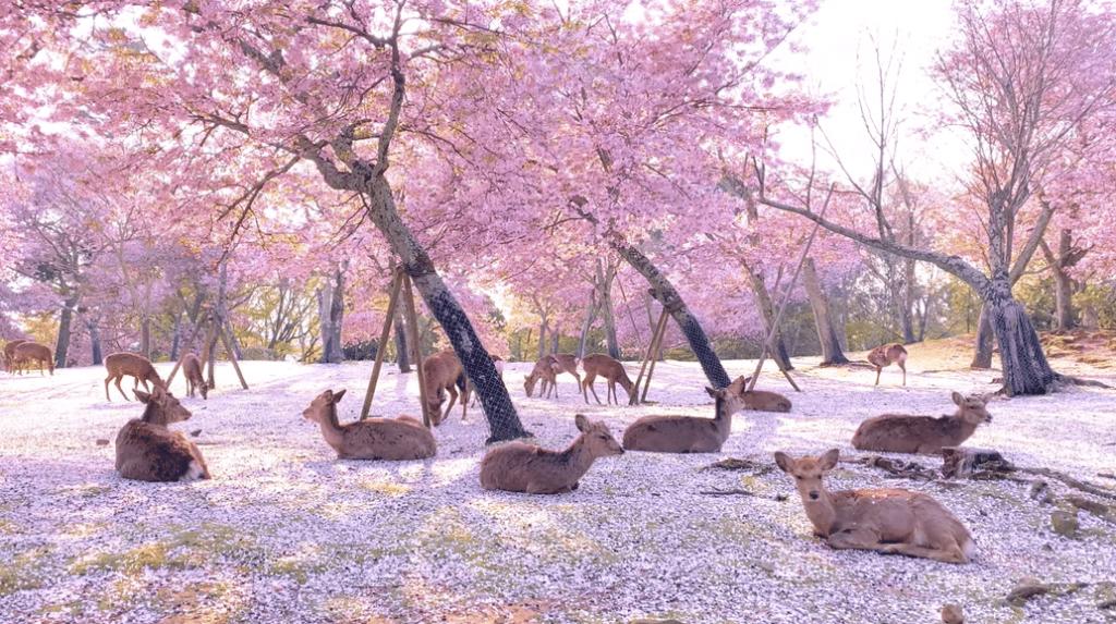 La escena mágica de ciervos bajo los cerezos en flor de un parque japonés