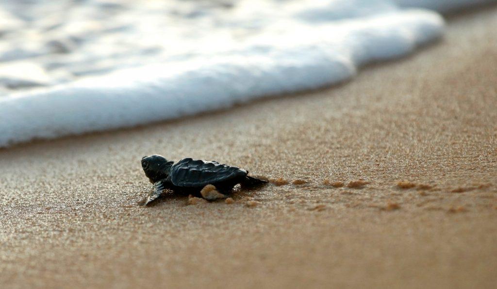 Localizado un nido de tortuga en la playa de la Mar Bella