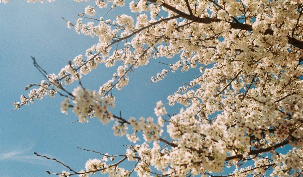 Los mejores sitios de Catalunya para ver los cerezos en flor