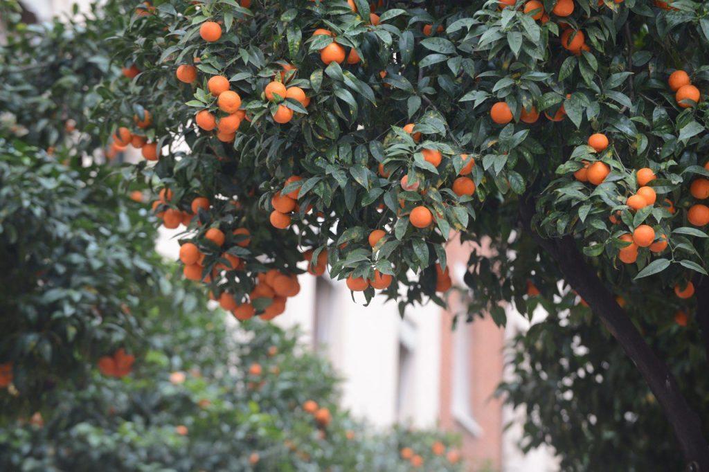 ¿Por qué no se pueden comer las naranjas de Sant Andreu?