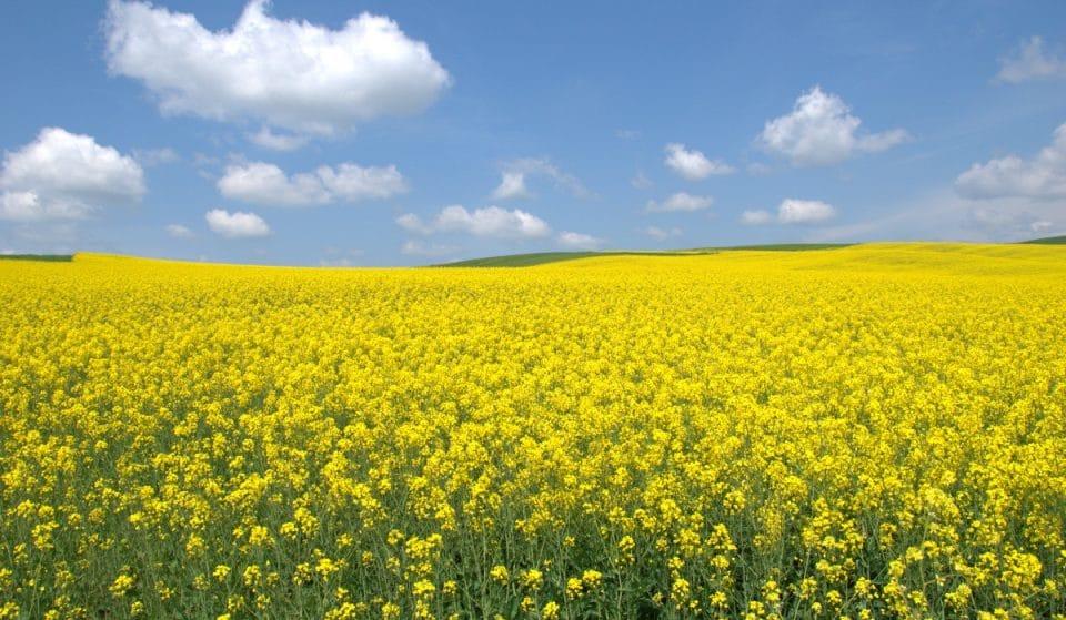 Los campos de colza de Empordà, una escapada necesaria