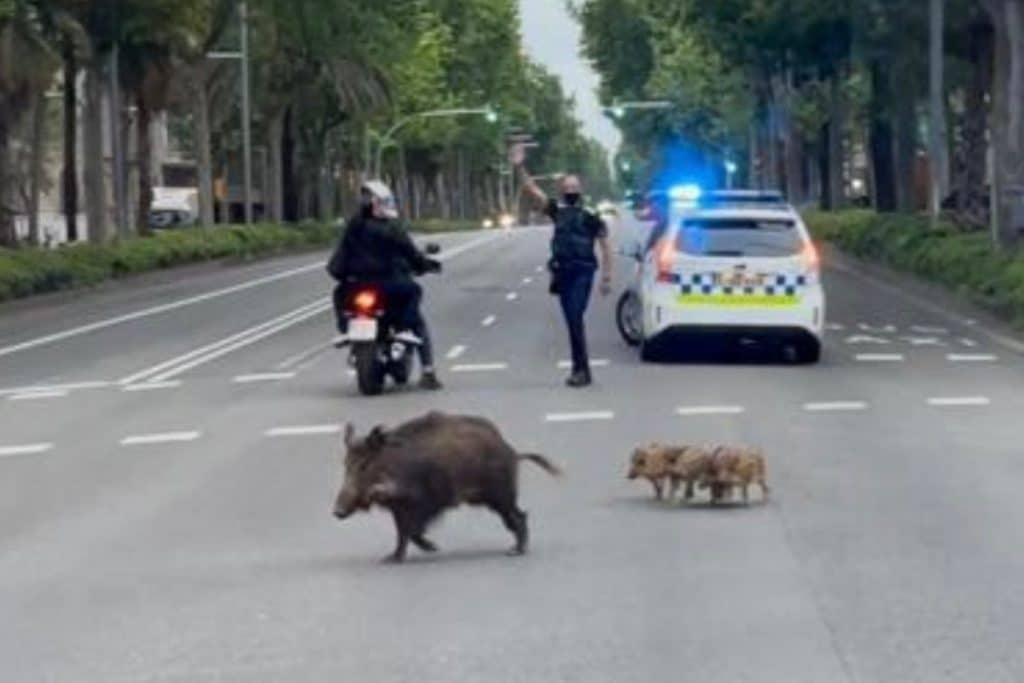 Los jabalíes vuelven a pasear por el centro de Barcelona