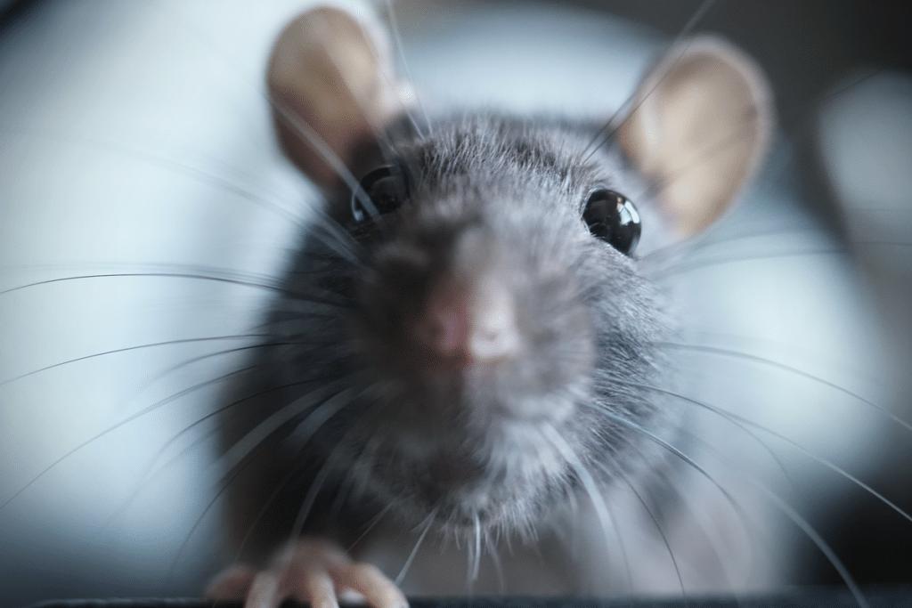 Una rata aparece por del váter de un piso de La Barceloneta