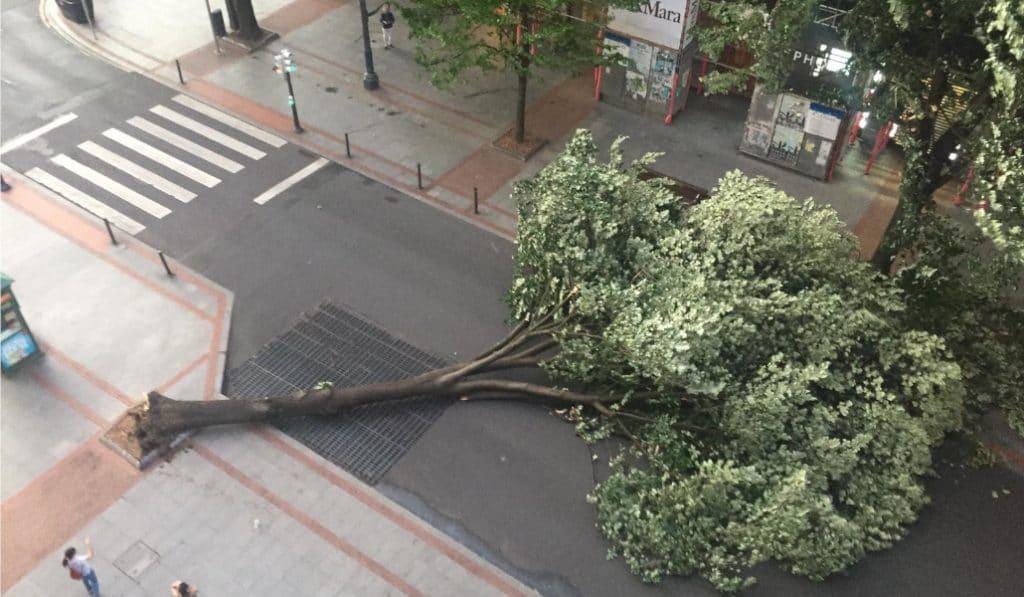 El viento provocado por la galerna arranca un árbol en la Gran Vía