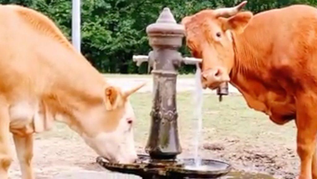 Estas vacas de Bilbao beben de la fuente como personas