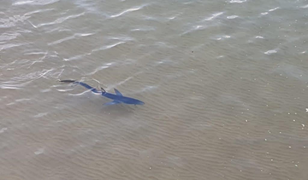 Un tiburón azul se paseó ayer por la playa de Gorliz [vídeo]