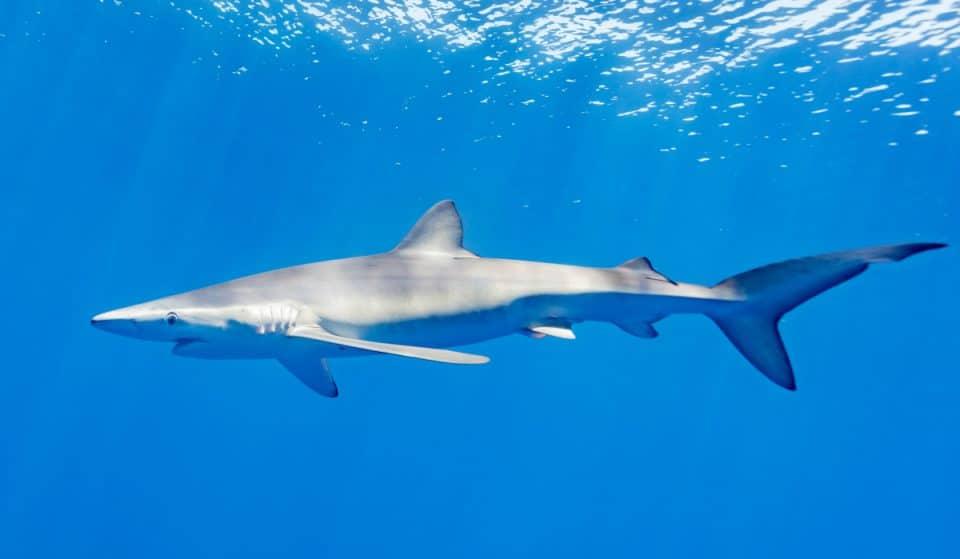 Aparecen tiburones azules en la playa de La Salvaje