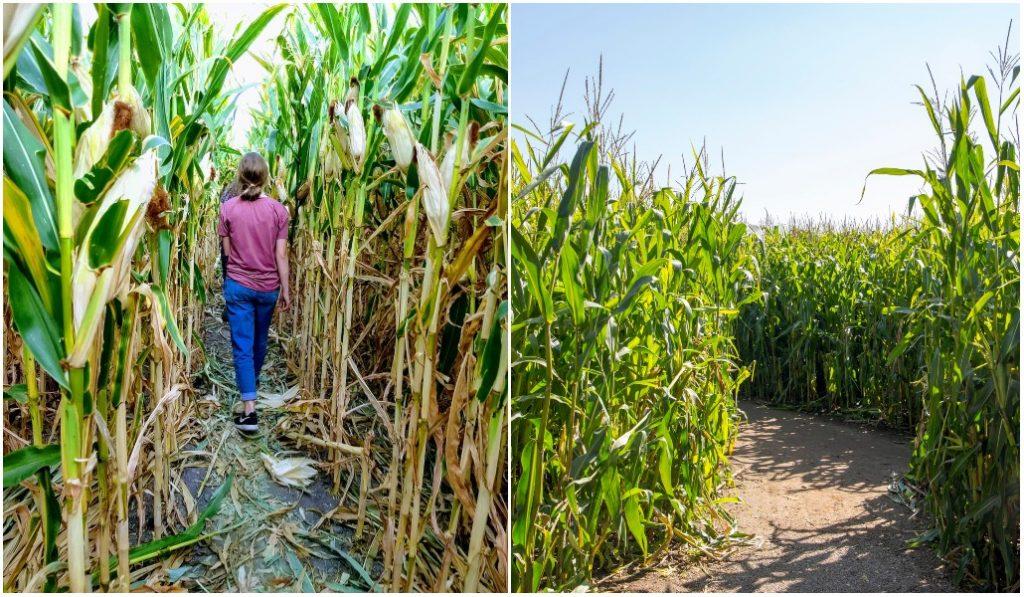 Le tout premier labyrinthe de maïs géant en Gironde ouvrira en juillet !