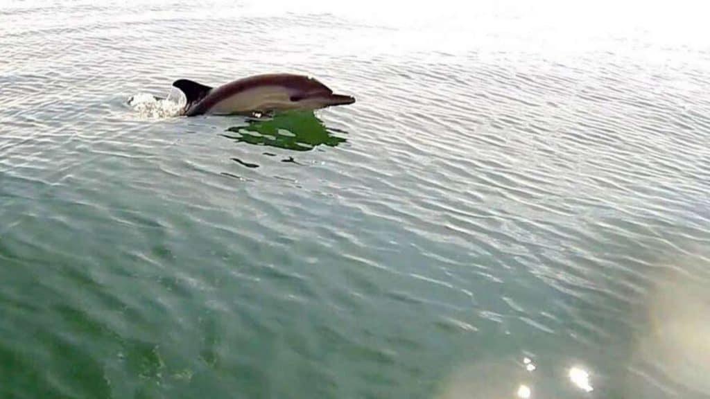Un groupe de dauphins a été filmé au large du bassin d'Arcachon !