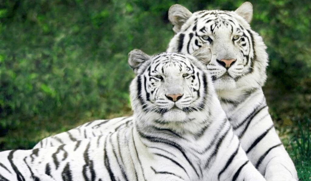 Vous pourrez bientôt dormir parmi les tigres au Zoo de Pessac !