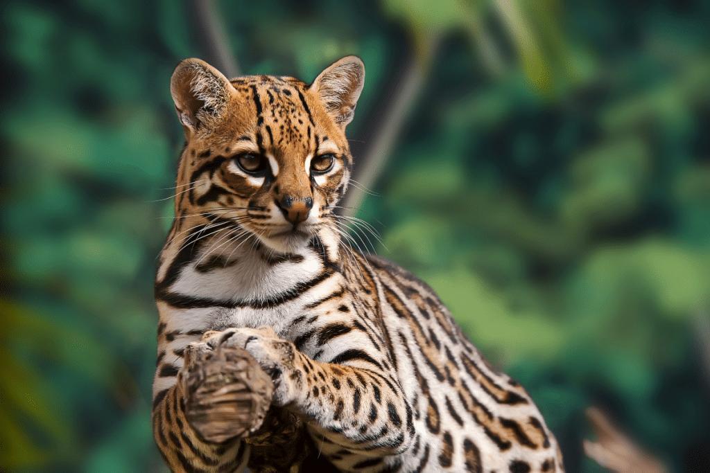 Un ocelot est né au zoo du Bassin d'Arcachon, à vous de choisir son prénom !