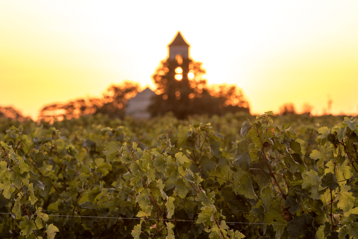 Coucher de soleil dans les vignes du Médoc