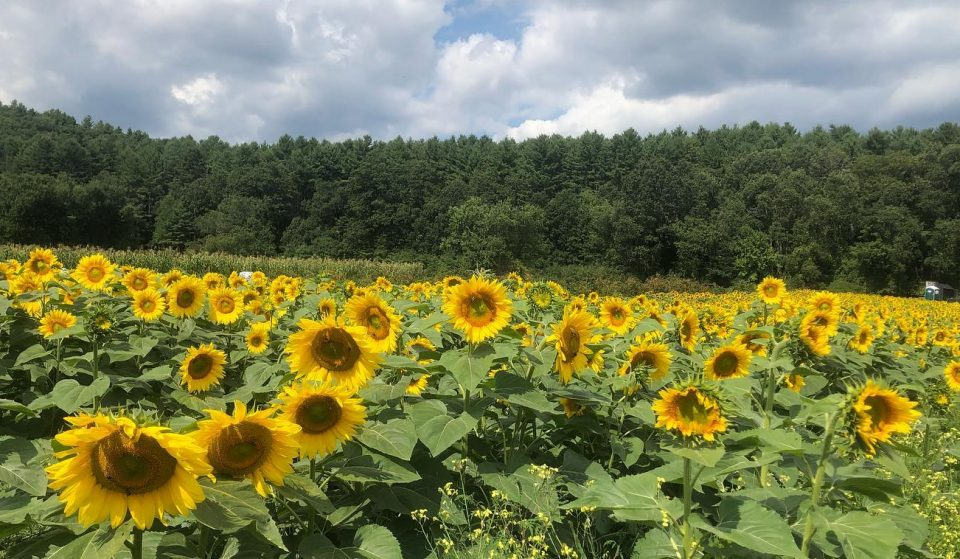 Get Lost In A Lovely Sunflower Maze At This Framingham Farm