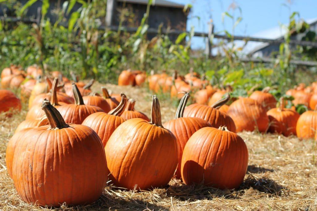 Pumpkin Patches Boston