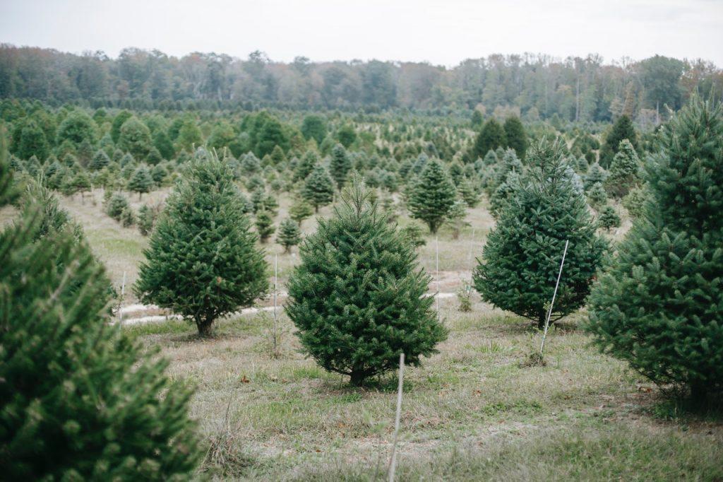 Christmas Tree Picking Boston