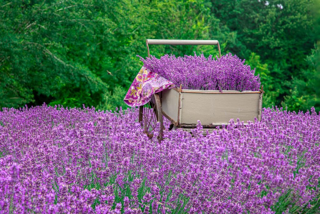 Walk Through Stunning Fields Of Purple At This Lavender Farm Just Outside Boston