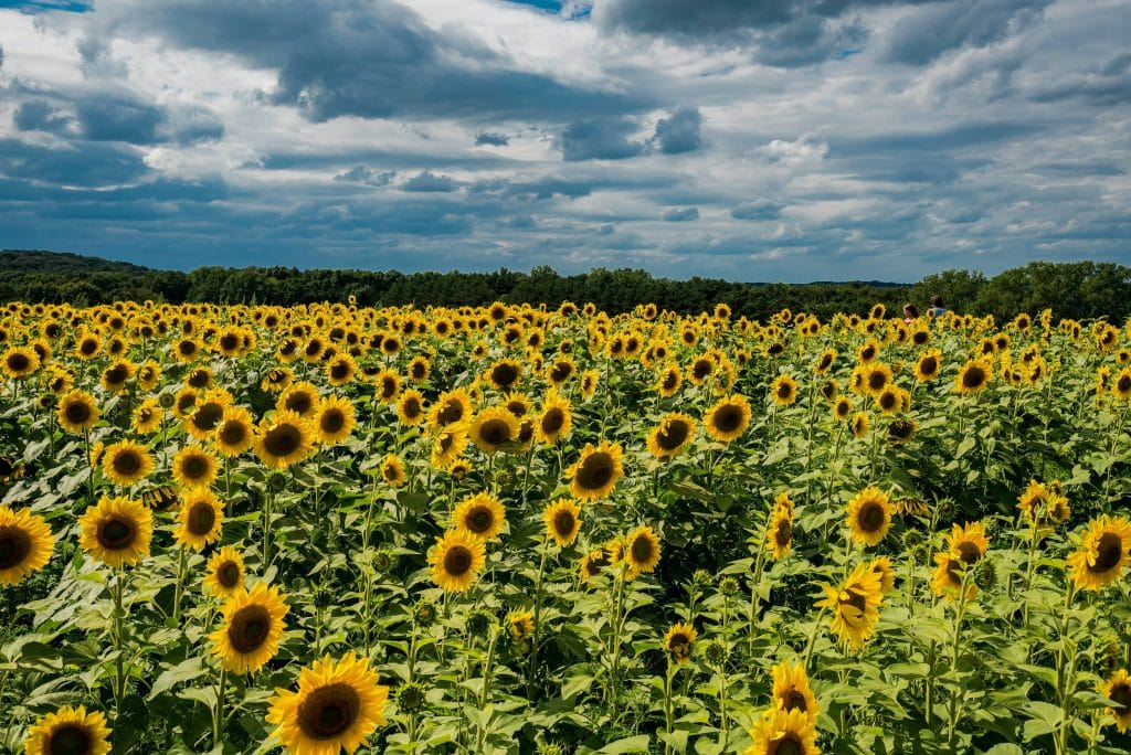 This Sunflower Field In Concord Is Hosting The Perfect Insta Photo Op
