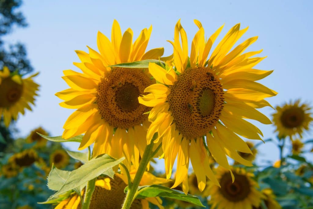 5 Picturesque Sunflower Fields To Tour In New England