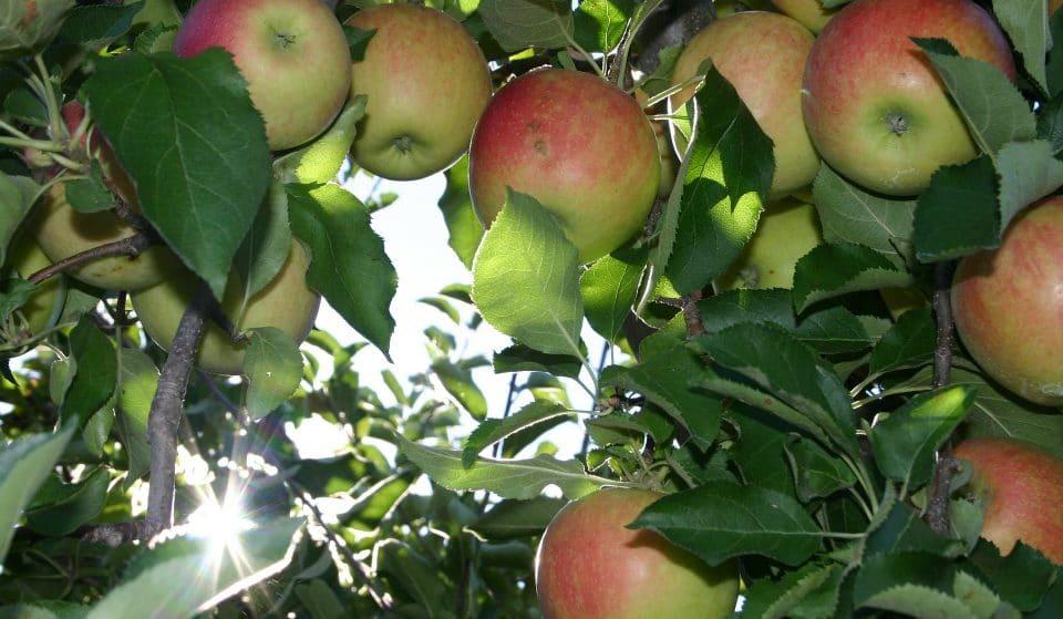 10 Awesome Places To Go Apple Picking Around Boston