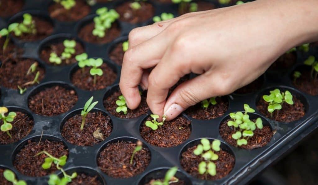 Confinement : des graines distribuées aux bruxellois pour réaliser leurs semis