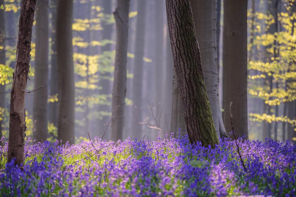 En images : admirez l'éclosion des jacinthes dans la merveilleuse forêt bleue du Bois de Hal !