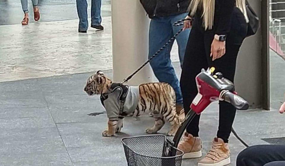 Las fotos virales de un tigre paseando en la Plaza Antara