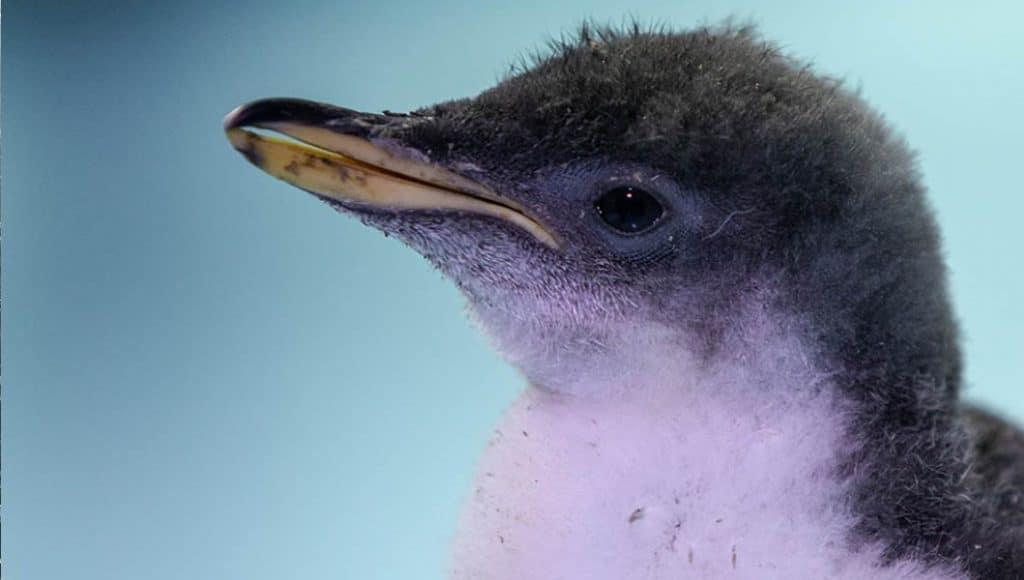 Conoce al primer pingüino completamente chilango