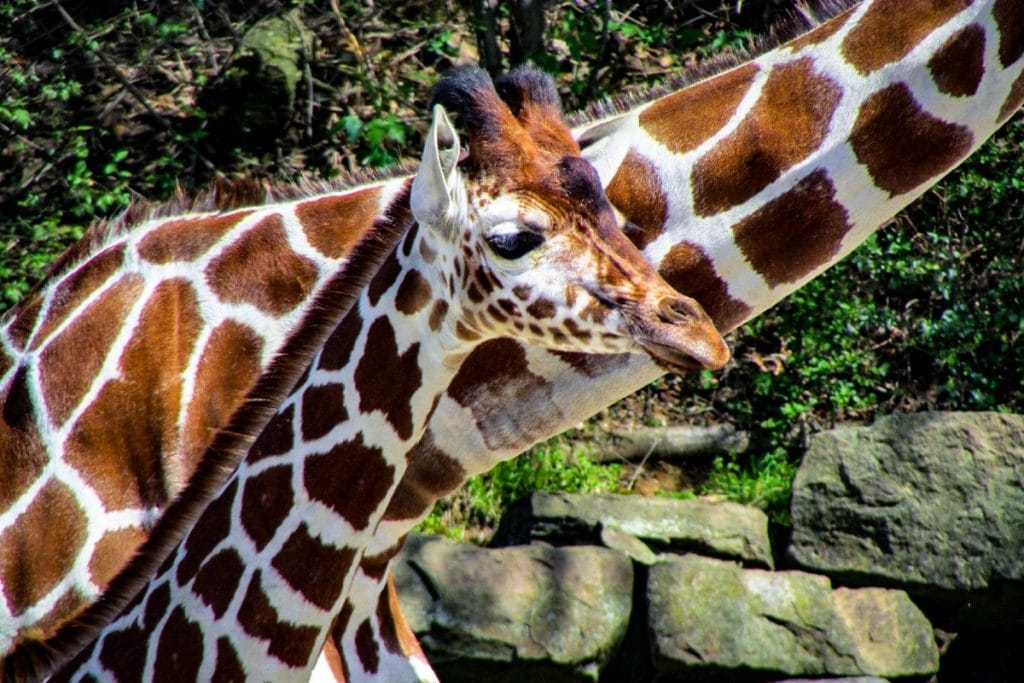 Ponle nombre a la jirafa que nació en el Zoológico de Chapultepec