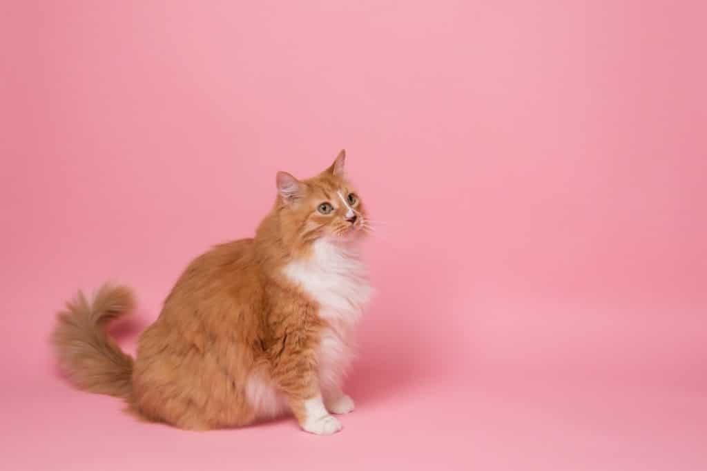 ¿Eres fanático de los felinos? Ya casi es Gato Fest