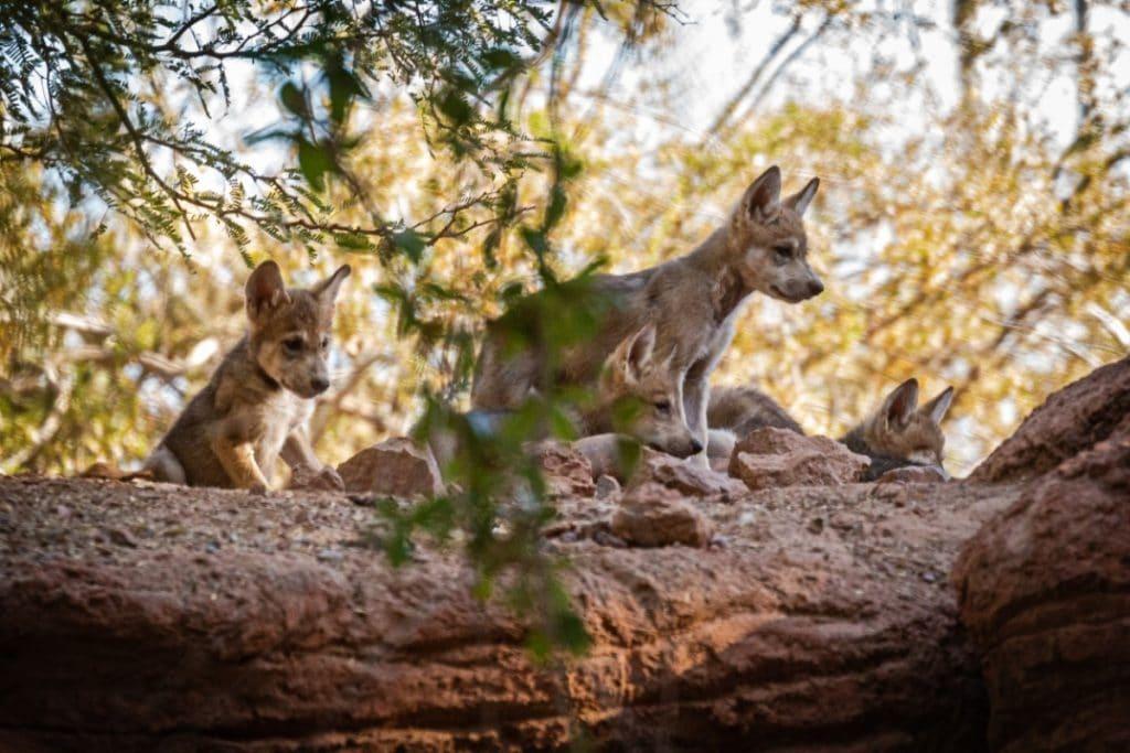 Nacieron cinco crías de lobo mexicano en el zoológico de la CDMX