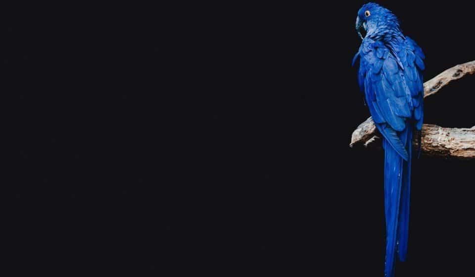 Le Bioparc de Genève accueille l'espèce unique du perroquet bleu du film Rio !