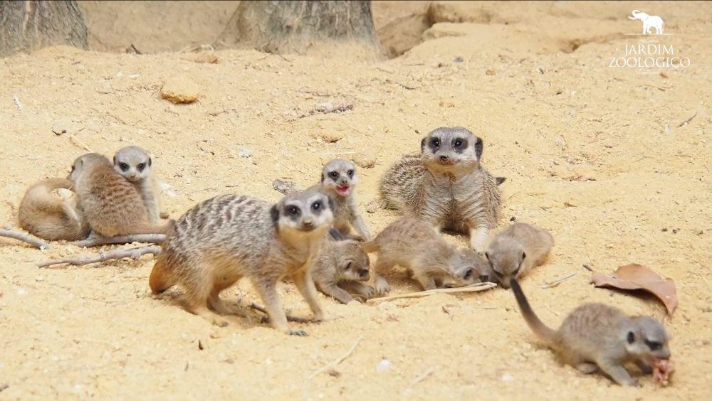 O zoo de Lisboa tem novas suricatas bebés (e já podes vê-las)