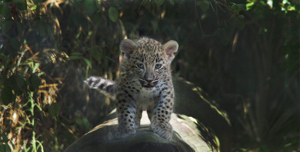 Nasceram três leopardos bebés no Jardim Zoológico