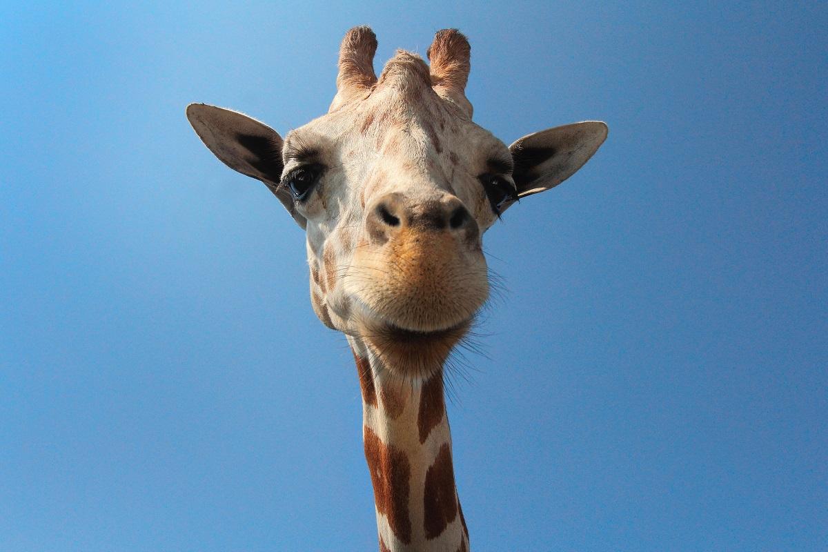 girafa a espreitar para a câmara