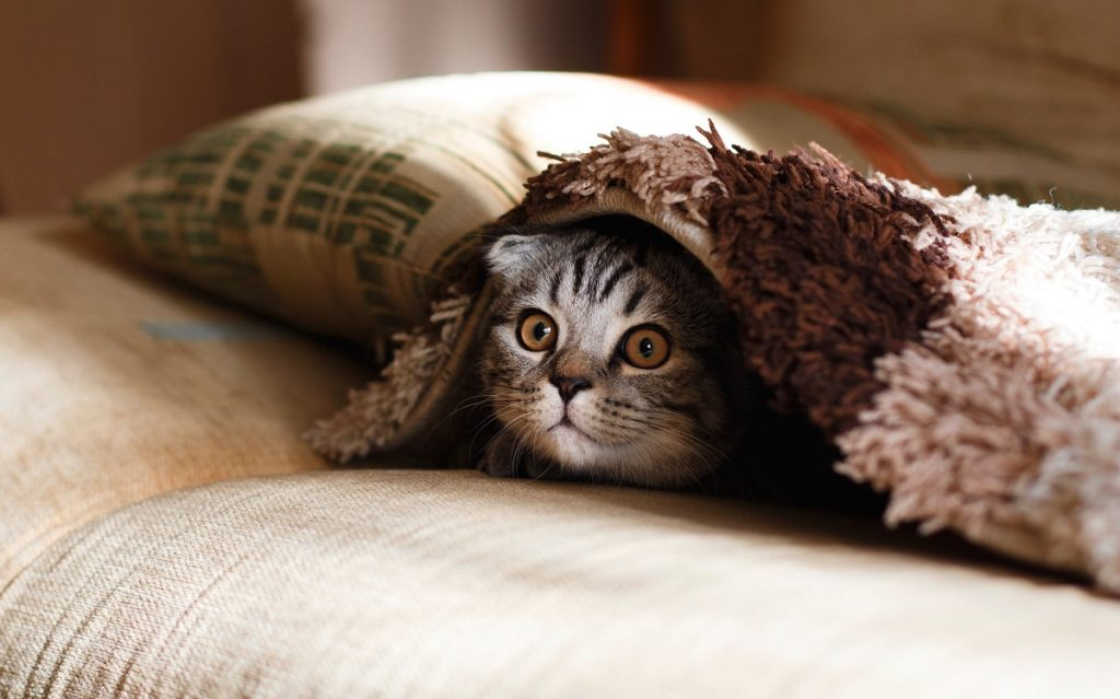 gato a espreitar por entre os cobertores