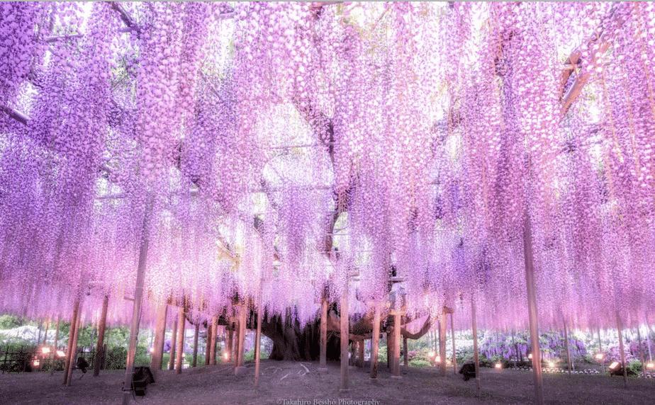 A árvore de glicínia mais bonita do mundo está no Japão