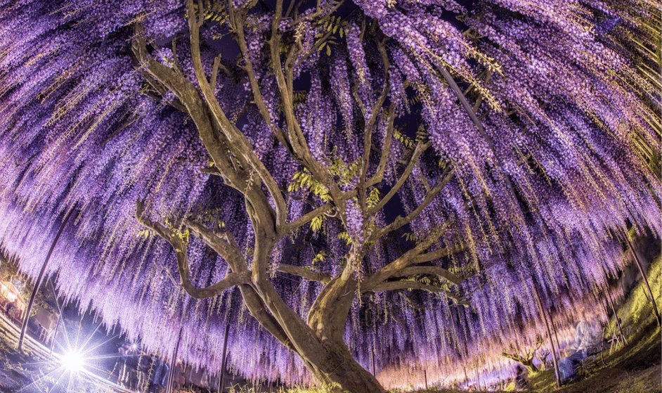 A árvore de glicínia mais bonita do mundo está no Japão e podes visitá-la virtualmente